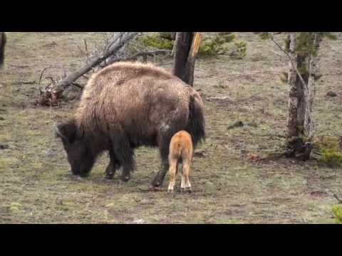 Baby Bison in Yellowstone
