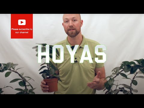 All you need to know about Hoyas (Wax flower)