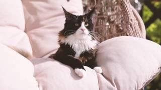 Кошка мейн кун Canker-Rose Grey Claw`s черный черепаховый с белым (f09) в 9 месяцев coonplanet.ru