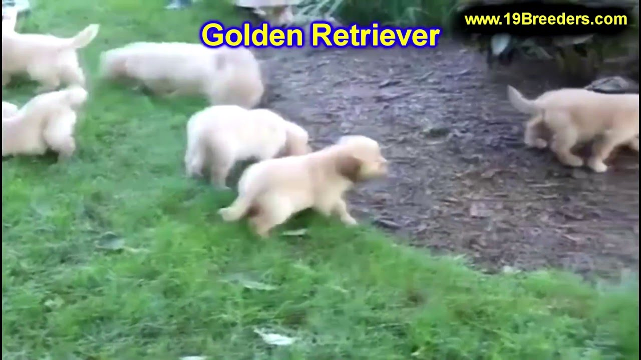 Golden Retriever, Puppies, Dogs, For Sale, In Raleigh, North Carolina, NC,  Durham, Greenville