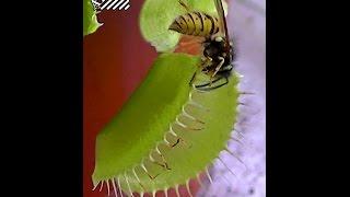 venusfliegenfalle wespe fleischfressende pflanze carnivorous plant canavar cicek