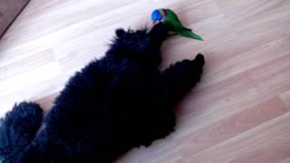 Малый черный пудель Гуффи, 9 месяцев, играет с лорикетом