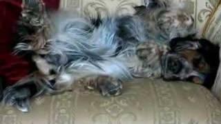 English Cocker Spaniel Benz Falling A Sleep