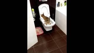 Кошка ходит в унитаз !!!!