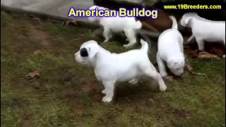 American Bulldog, Puppies, For, Sale, In, Detroit, Michigan, Mi, Waverly, Holt, Inkster, Wyandotte,