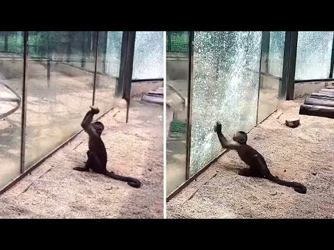 Monkeys in a Zoo Can Sharpen Stones to Break the Glass and Run Away