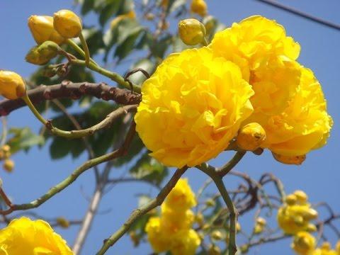 ดอกสุพรรณิการ์ เหลืองอร่ามงามสง่า ณ รามคำแหง สุรินทร์ 2560