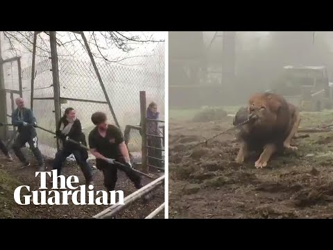 Zoo condemned for giving visitors chance to play tug-of-war with a lion