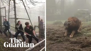 Tug-of-war with a lion? Dartmoor zoo offers