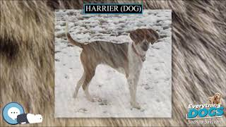 Harrier dog  Everything Dog Breeds