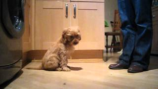 Cockapoo Puppy Training - Dudley The Cockapoo