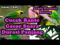 Suara Kicauan Burung Cucak Rante Ranting Durasi Panjang Rapat Cocok Buat Masteran Pikatan(.mp3 .mp4) Mp3 - Mp4 Download