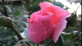 Mina - Mi Mandi Rose