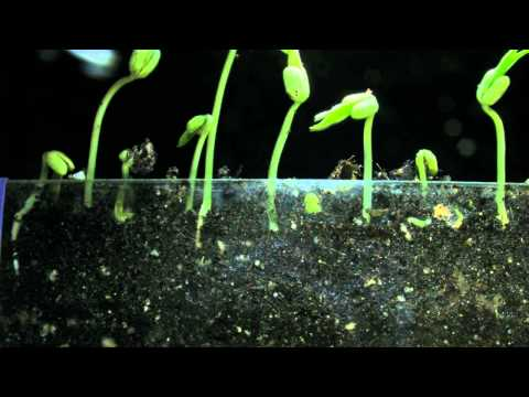 Mung Beans sprouting and root growth 6 day timelapse V11664