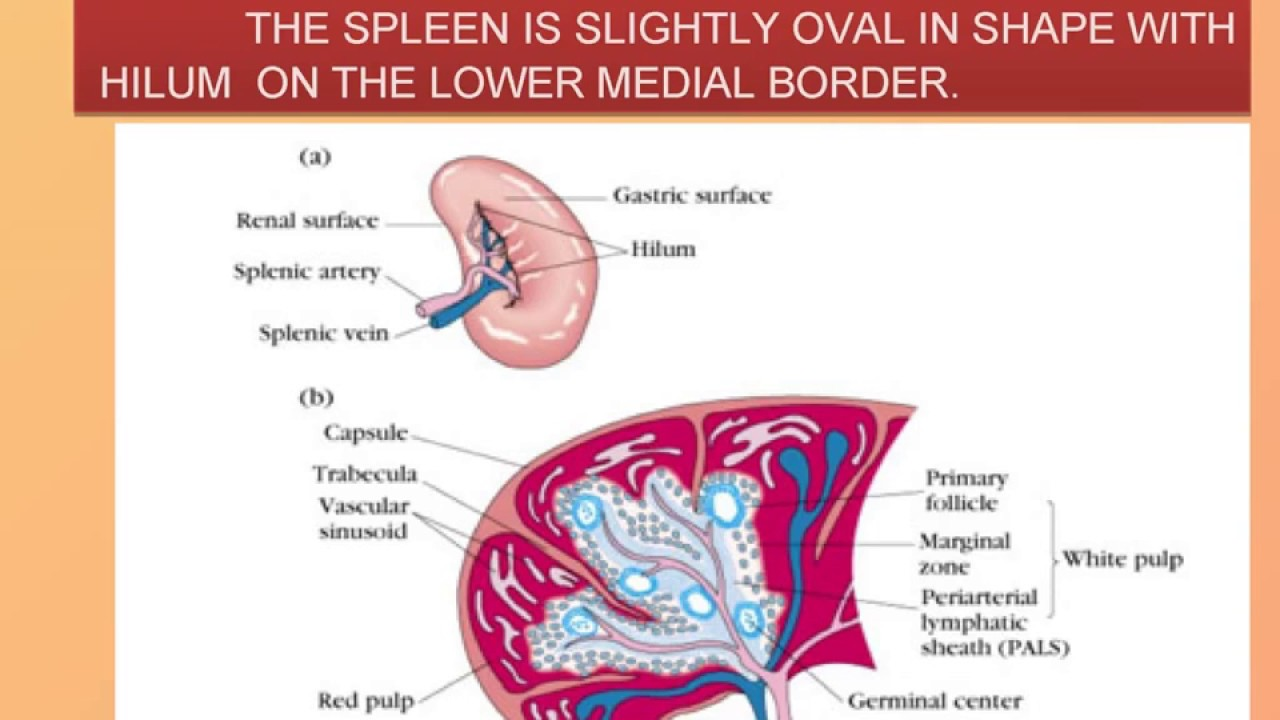 anatomy and physiology of spleen in english - YouTube