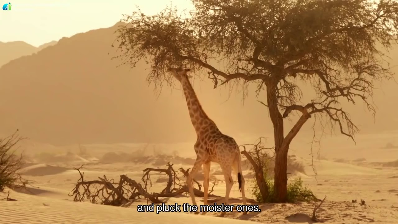 David Attenborough Planet Earth   Giraffes  Africa's Gentle Giants   BBC Documentary HD 2017