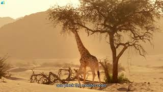 David Attenborough Planet Earth   Giraffes  Africa's Gentle Giants   BBC Documentary HD 2017