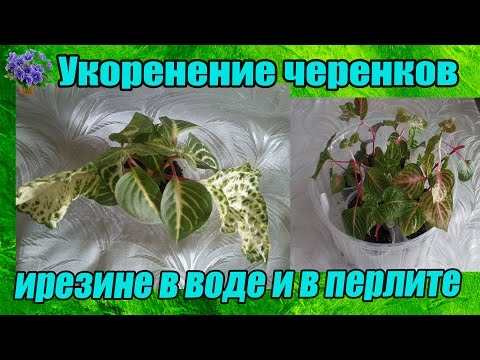 Укоренение черенков ирезине после весенней обрезки.