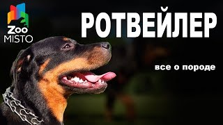 Ротвейлер - Все о породе собаки | Собака породы - Ротвейлер