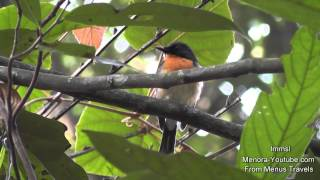 Birds At Rainforest With Beautiful Bird Songs