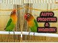 Lovebird Mana Yang Gak Ngamuk Dan Ikut Tarung Kalau Digandeng Dengan Lovebird Fighter Ini  Mp3 - Mp4 Download