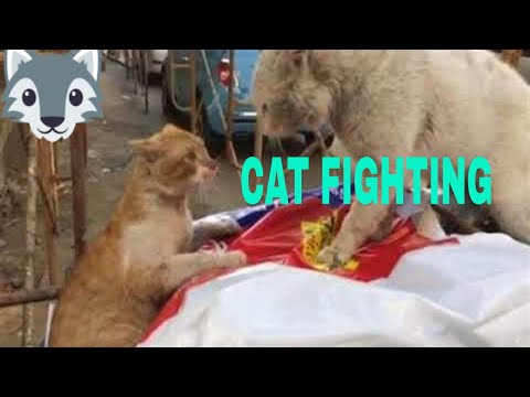 CAT FIGHTING ON STREET (WITH REAL SOUND)