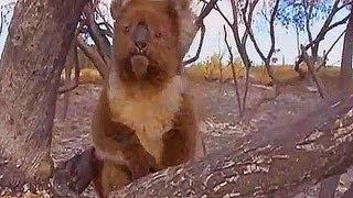 Koala has a lucky escape from an Australian bushfire