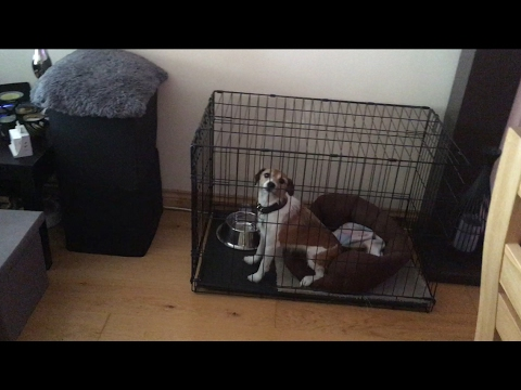 Jack Russell thinks she's being left at home prank