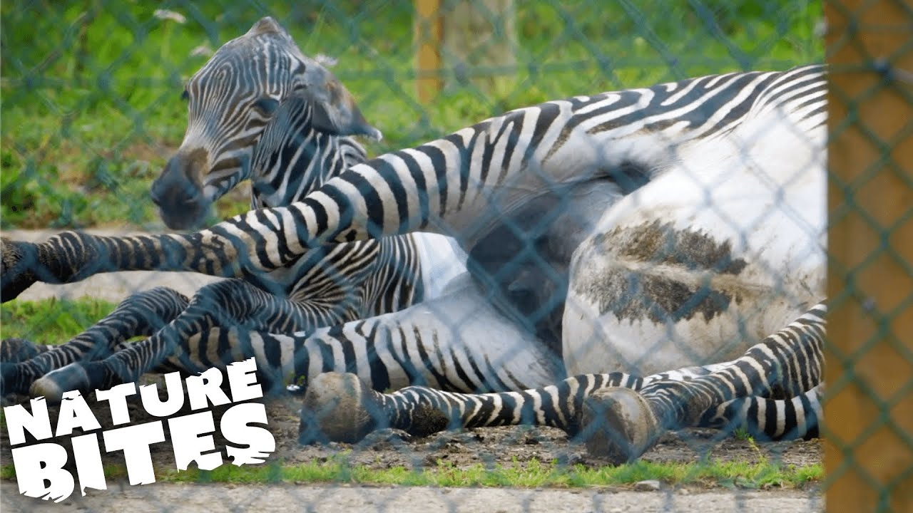 Download Zebra Gives Birth in Difficult Ordeal   The Secret Life of the Zoo   Nature Bites