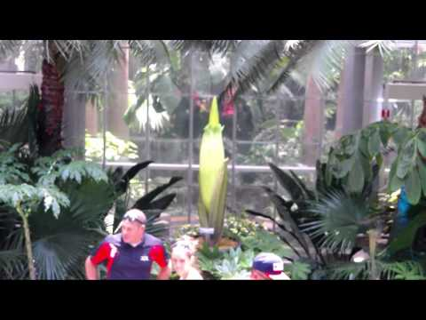 Archive - Corpse Flower at United States Botanic Garden Live Stream - July 24, 2016