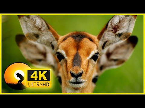 4K VIDEO ULTRAHD WILDLIFE ANIMALS AND BIRDS🦜🦓BEAUTIFUL NATURE-FOR 4K UHD TV