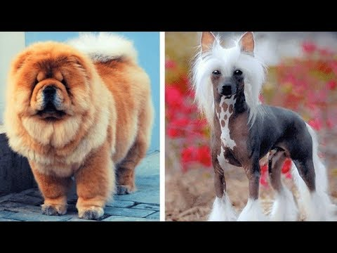 Top 10 Most Expensive Dog Breeds (2019)