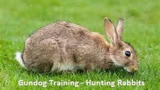 Gundog Training - Cocker Spaniel - Hunting Rabbits