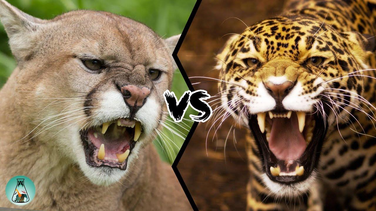 Download COUGAR VS JAGUAR - Who will win?