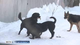 В Вологде догхантеры устроили охоту на собак