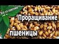 Как проращивать пшеницу дома и для чего Блюда из пророщенной пшеницы готовим дома Все из крапивы mp3