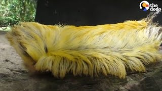 Donald Trump Caterpillar | The Dodo