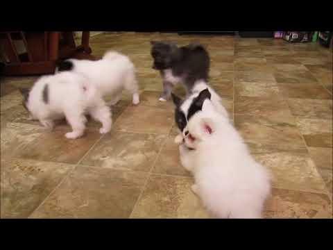 PuppyFinder.com : 4 toy Alaksan Nanuk girls