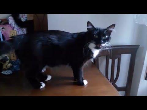 Female cat in heat meowing ( mate calling )
