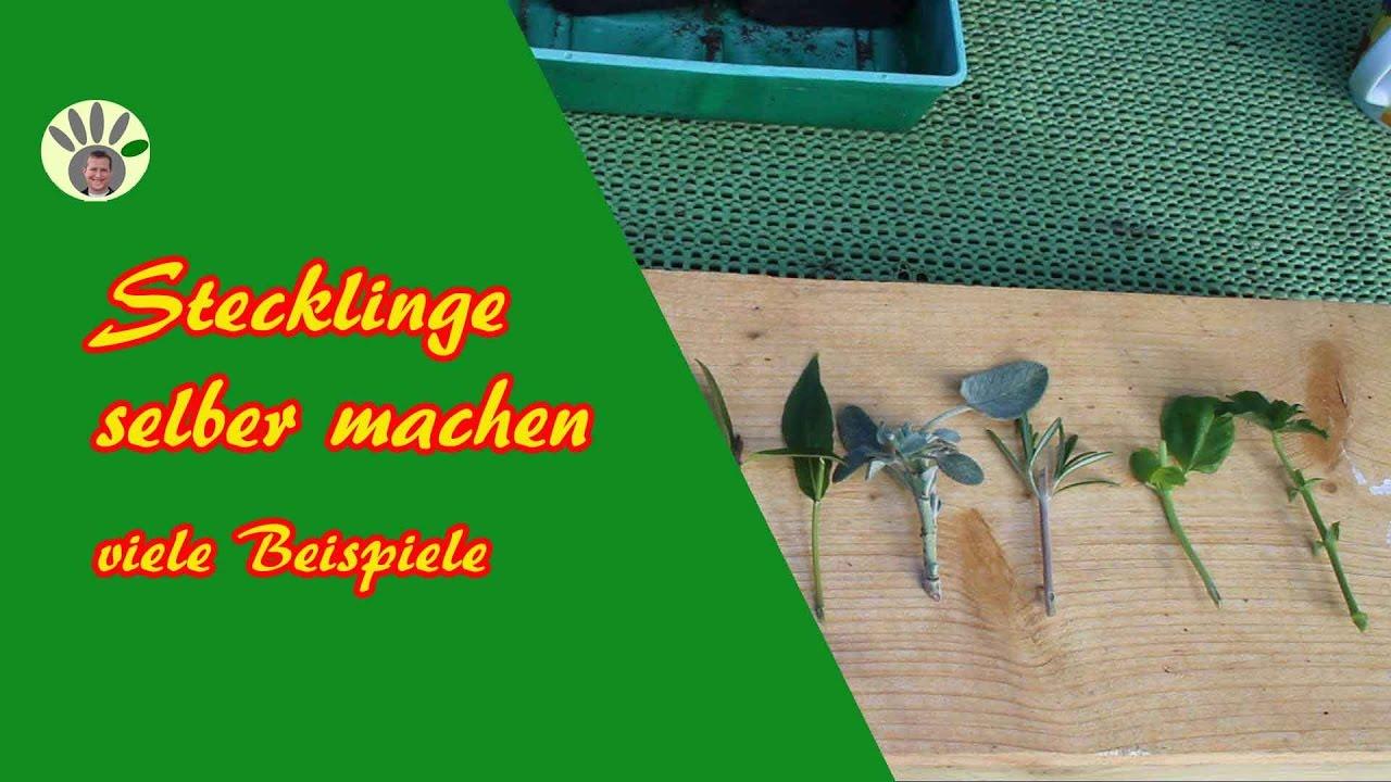 stecklinge schneiden kr uter rosmarin basilikum kirschlorbeer rose hortensie liguster. Black Bedroom Furniture Sets. Home Design Ideas