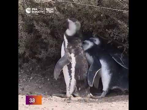 Миграция пингвинов