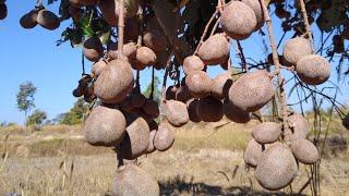 Local Fruits In Thailand CHRYSOBALANACEAE ถ่ายแบบความละเอียดสูง 4K มะพอก