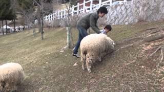 六甲牧場にて 2歳1ヶ月の息子が羊を追い込んでます。