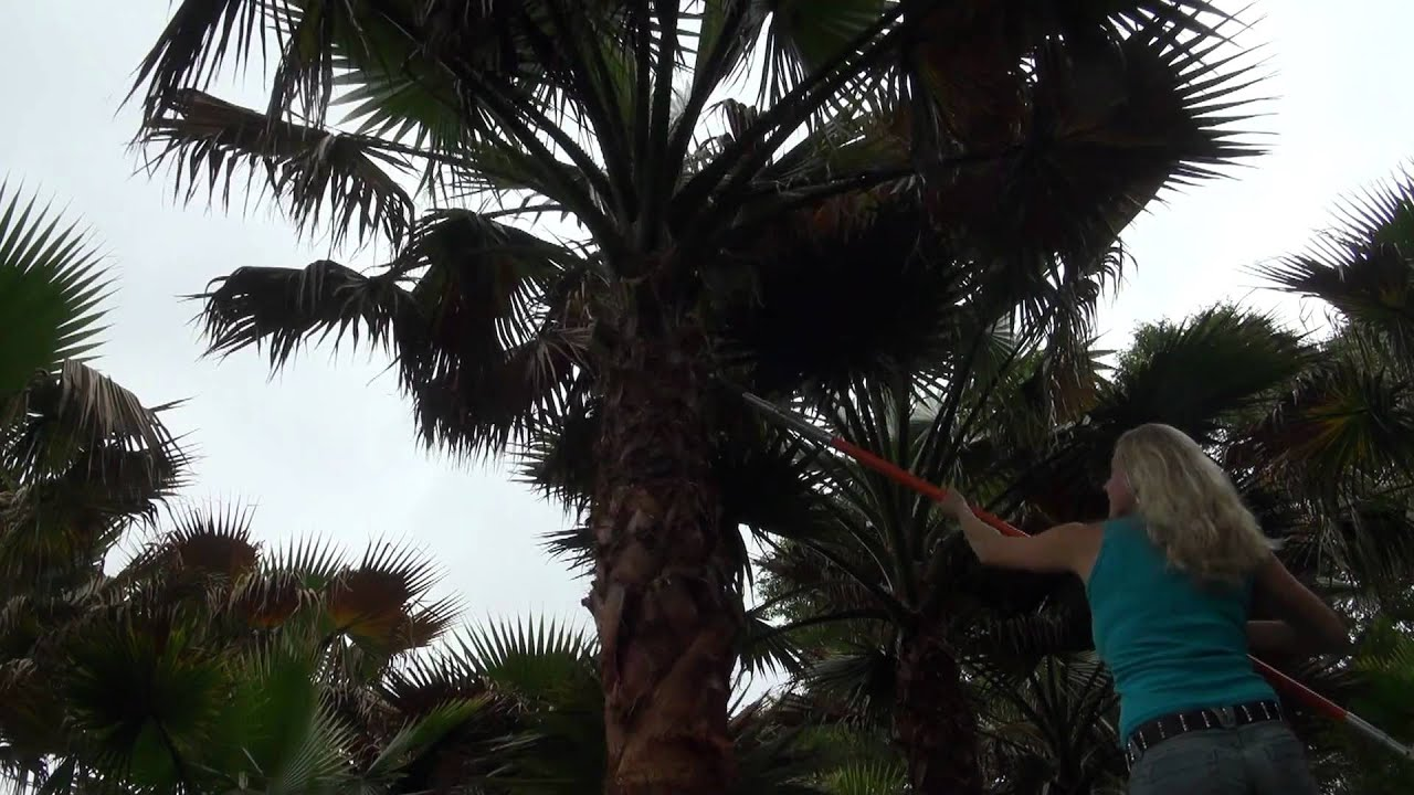 how to trim mexican palm tree leaves pruning youtube