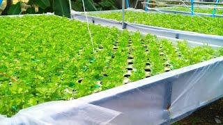 สวนผักไฮโดรโปนิกส์ กับ การปลูกผักขึ้นฉ่าย