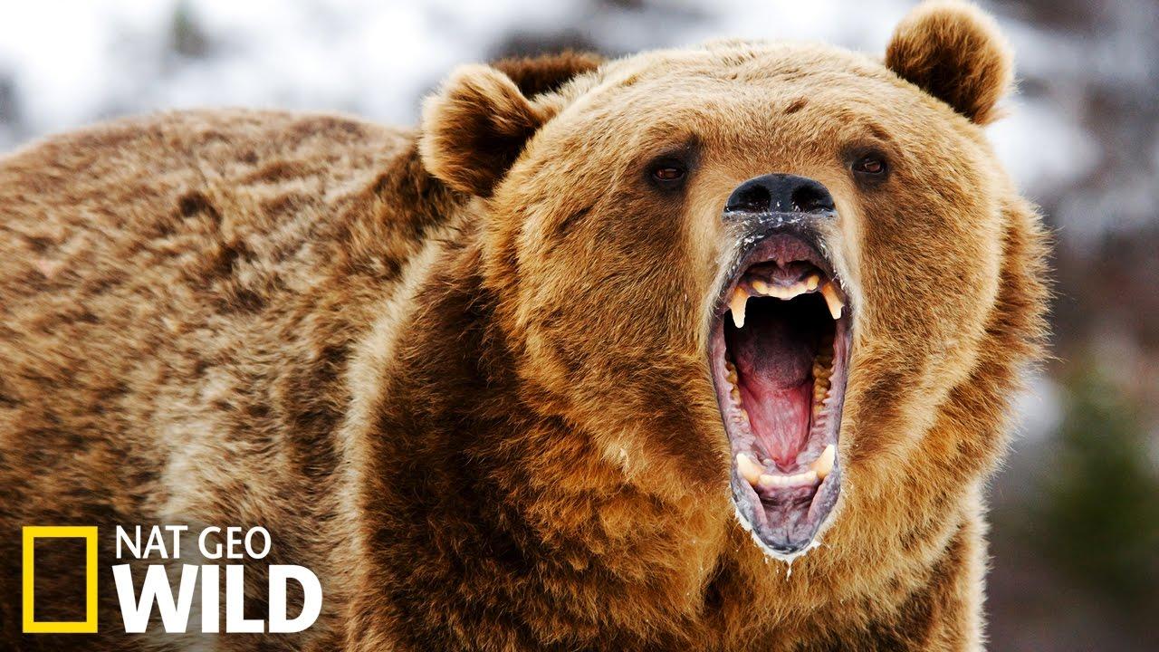 le repas d ours