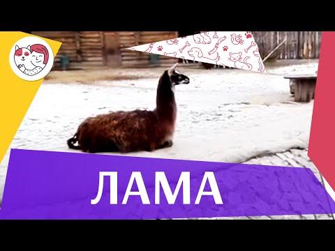 Лама Интересные факты на ilikepet