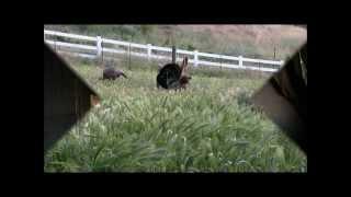 "Pellet Gun Turkey Hunting Television- Episode 8- Spring 2013- ""Gonzo Gobblers"""