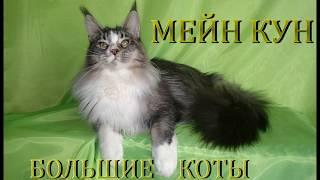 Maine Coon. Симпатичные котята.
