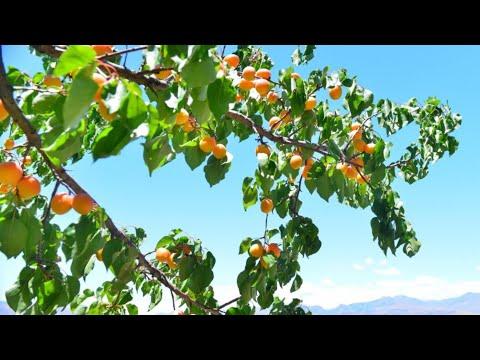 Armenia Армянские Абрикосы! Кочари Дудук